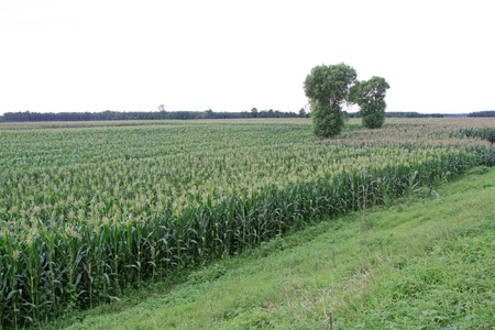 wide angle: Corn plant and trees in the field, northern china  Stock Photo