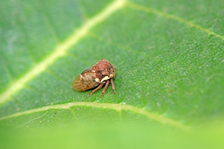 Membracidae insects on green leaf in the wild photo