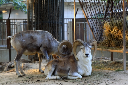 domestication: lovely Argali in the Beijing, china