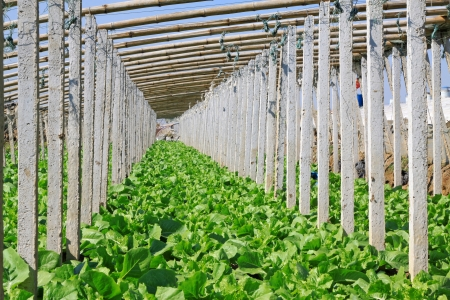 cement pile: vegetable greenhouse interior landscape in rural areas, north china Stock Photo