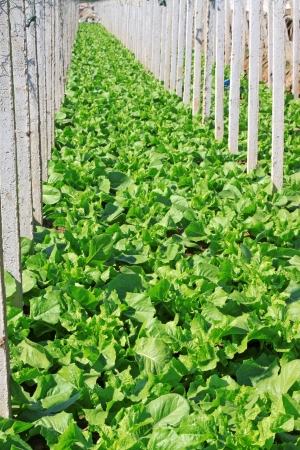 pollution free: vegetable greenhouse interior landscape in rural areas, north china Stock Photo