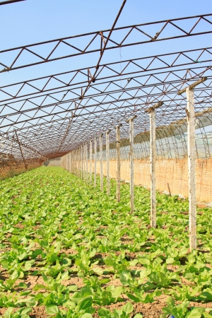 vegetable greenhouse interior landscape in rural areas, north china Stock Photo - 21187757