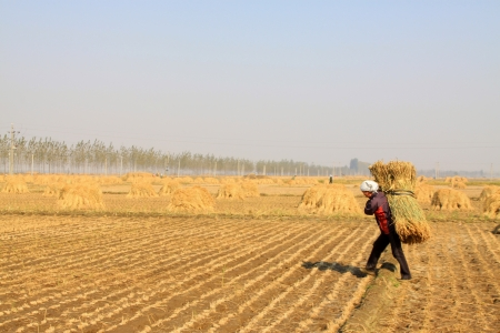Luannan, October 18, 2012 - Farmers were carrying straw in the rice fields, in October 18, 2012, Luannan County, china