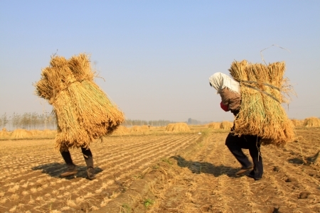 Luannan, October 18, 2012 - Farmers were carrying straw in the rice fields, in October 18, 2012, Luannan County, china.