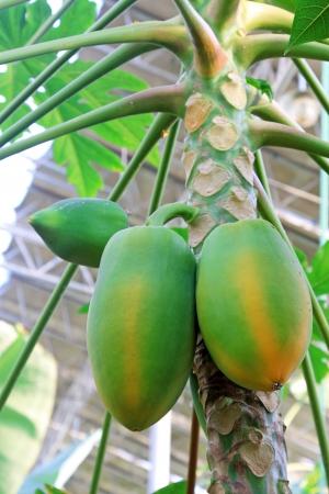 carotene: papaya fruit on the trees in a modern plantation, north china