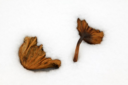 withered lotus stalk in the snow, in winter Stock Photo - 21259780