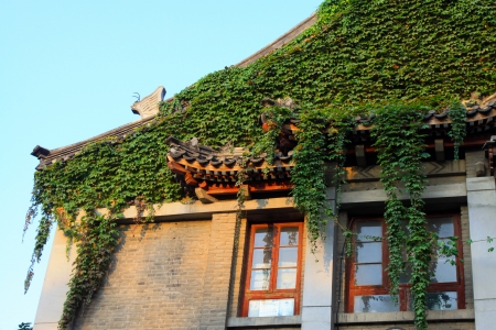 greening: Ivy in the grey building, Peking University, China