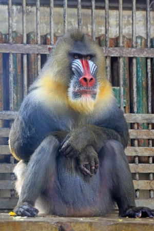 Mandrill (Mandrillus sphinx) in the Beijing zoo, china photo