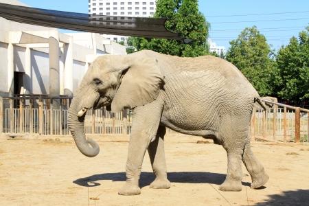 Aziatische olifant in de dierentuin van Beijing, China