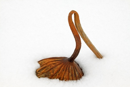 withered lotus stalk in the snow, in winter Stock Photo - 21357455