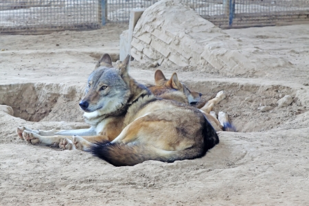 domestication: wolf in the Beijing zoo indoors, china