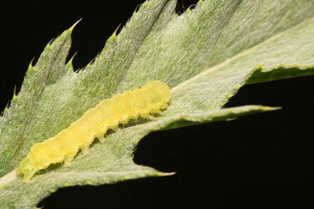 bilineata: Clanis bilineata walker larva on green leaf in the wild