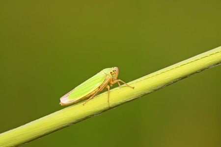 compound eye: a kind of homoptera insects leafhopper in the wild Stock Photo