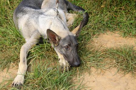 sprawled: Perro de animal dom�stico en los arbustos, primer plano de la foto