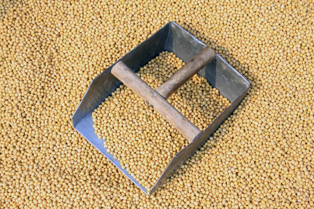 soya bean plant: piles of soybean in the market, closeup of photo
