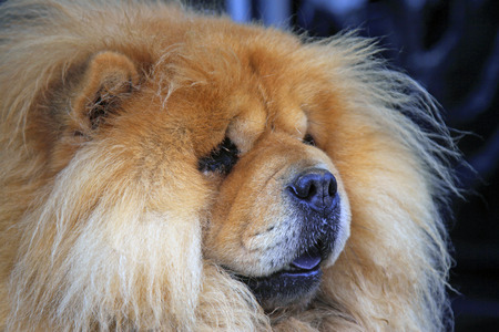 chow: Pet dogs - chow chow, closeup of photo