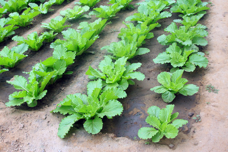 garden features: Chinese cabbage grow in the garden, closeup of photo Stock Photo
