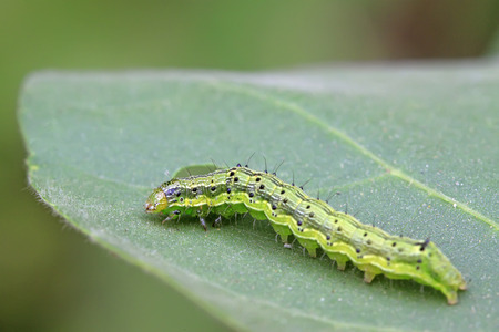 compound eye: green insects on the leaf, closeup of photo