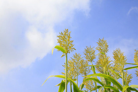feature: Sorghum panicle feature, closeup of photo Stock Photo