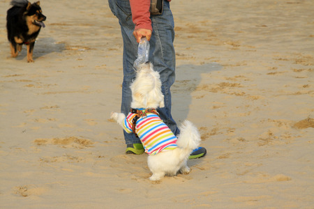 chasing tail: Pet dog -- West highland white terrier, closeup of photo