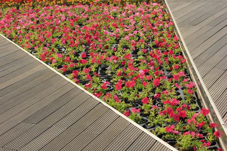 petunias: Piece of petunias flowers in garden, closeup photo Stock Photo