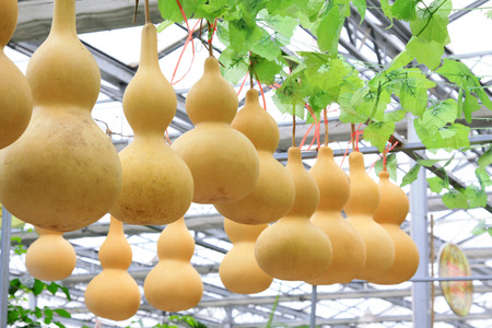 dried gourd: Rows of gourds hanging on the shelf, closeup of photo