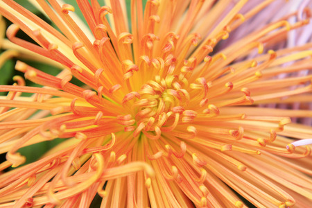 filamentous: Filamentous chrysanthemum, closeup of photo