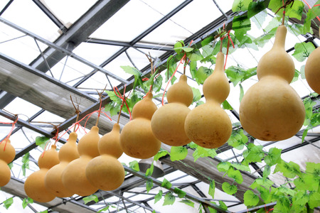 dried gourd: Rows of gourds hanging on the shelf, closeup photo Stock Photo