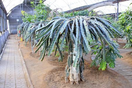 arbres fruitier: arbres fruitiers dans une plantation, gros plan de la photo Banque d'images