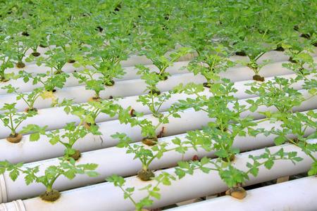 soilless cultivation: soilless cultivation celery, closeup of photo