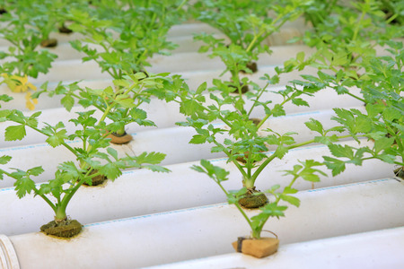 to thrive: soilless cultivation celery, closeup of photo