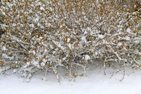 shrubs: Shrubs in the snow, closeup of photo