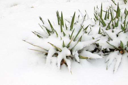 sisal: Sisal in the snow