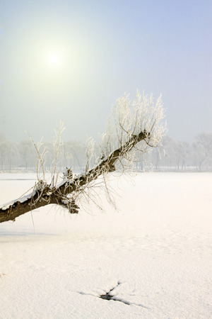 sloping: sloping dead trees in the snow, closeup of photo Stock Photo