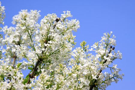 clove: white clove flowers, syringa Linn, closeup of photo Stock Photo