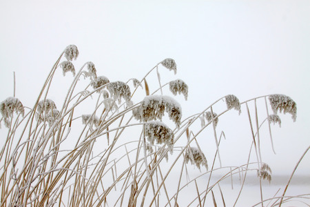 scenarios: reeds in the frost and snow