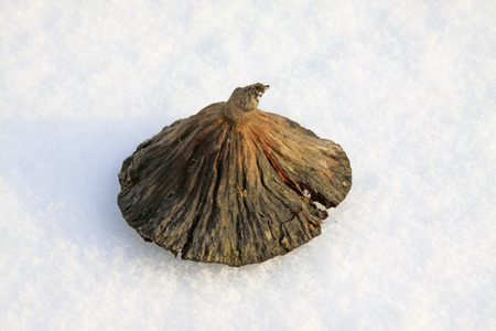 scenarios: Lotus in the snow, closeup of photo