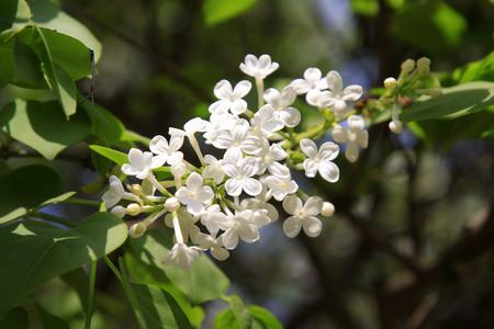 garden features: white clove flowers, syringa Linn, closeup of photo Stock Photo