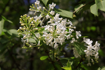 clove plant: white clove flowers, syringa Linn, closeup of photo Stock Photo