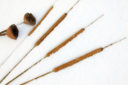 rushes: Rushes fruit and lotus in the snow, closeup of photo