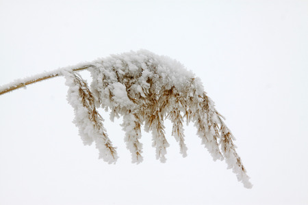 trivia: reeds in the frost and snow
