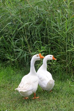 ocas: gansos blancos Foto de archivo
