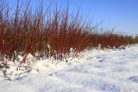alba: cornus alba in the snow, closeup of photo Stock Photo
