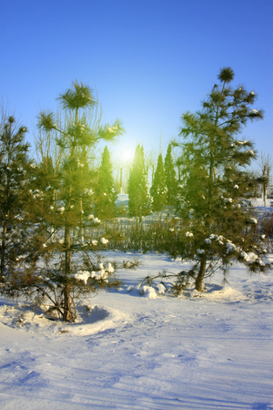dazzle: pine trees in snow