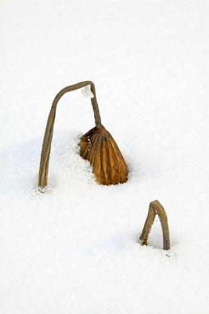 lotus leaf: Dry lotus leaf in the snow, closeup of photo