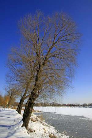 wider: natural scenery, trees in the snow