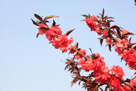 prunus: Prunus persica flowers in the wild Stock Photo