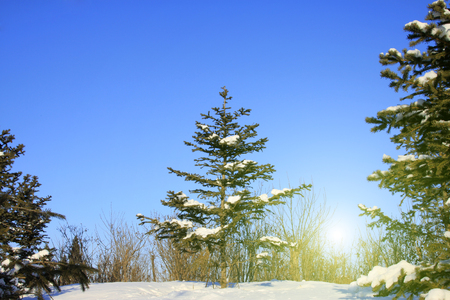 dazzle: pine trees in snow, closeup of photo