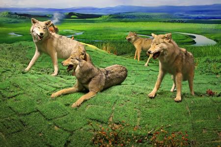 gregarious: Grassland Wolf specimen, closeup of photo Stock Photo