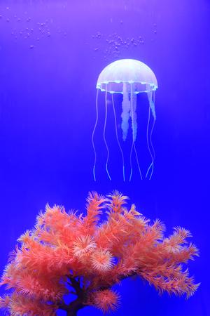 live coral: jellyfish and coral in aquarium